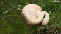 Chilean Flamingo (Phoenicopterus chilensis) preening Stock Footage
