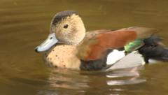 Grooming duck in water - close up Stock Footage