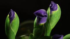 Time lapse, purple Iris buds  bloom into flowers, black limbo Stock Footage