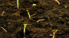 Stock Video Footage of Timelapse seedlings, plants growing in soil
