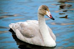 Whooper swan in tranquility Stock Photos