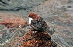 White-throated dipper in profile on a rock Stock Photos