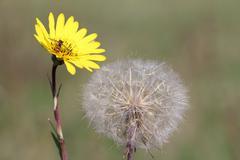 yellow dandelion and bee spring season - stock photo