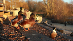Ducks in the sun suddenly fly off Stock Footage
