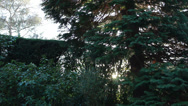 Stock Video Footage of Sun light through conifer tree (dolly shot)