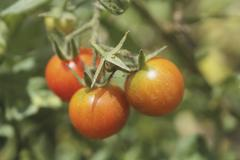Cherry tomatoes growing in the garden. solanum lycopersicon Stock Photos