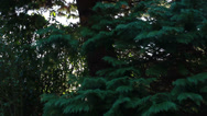 Stock Video Footage of Sun light through conifer tree close up (dolly shot)