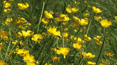 Buttercup blooming with bright yellow flowers - full screen Stock Footage