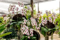 white orchid`s flower inflorescence - stock photo