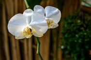 Stock Photo of white orchid`s flower inflorescence