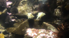 Cuttlefish on the reef - stock footage