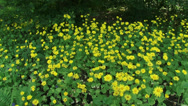 Stock Video Footage of Doronicum plantagineum or Great false leopardbane, blooming + pan