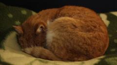 Orange Cat Sleeps Stock Footage