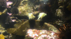 Group of cuttlefish - stock footage