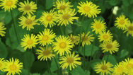 Stock Video Footage of Doronicum plantagineum or Great false leopardbane in shade + zoom out