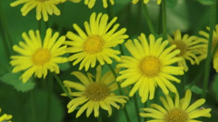 Doronicum plantagineum or Great false leopardbane in shade, yellow blooming Stock Footage
