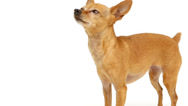 Stock Video Footage of Chihuahua barking