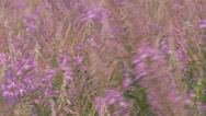 Stock Video Footage of Fireweed blooming in wind - full screen