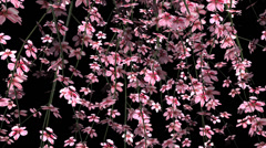 Stock Video Footage of Cherry Branches with Flowers - Loop - Alpha Channel