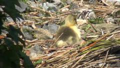 Gosling awoken by fly Stock Footage