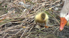 Goslings at river bank - stock footage