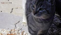 Grey tabby cat close up Stock Footage