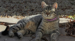 Grey tabby catting sunning himself Stock Footage