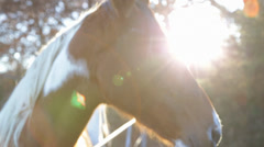 Horses at Sunset Stock Footage