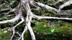 Long roots Stock Footage