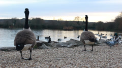 A pair of Geese in peaceful environment Stock Footage
