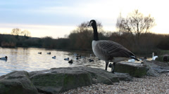 A goose enters water (dolly shot) Stock Footage