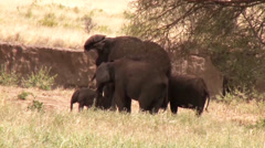 Baby elephant satisfies an itch Stock Footage