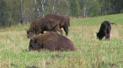 Bisons in the field Stock Footage