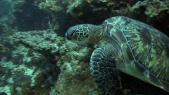 Green sea turtle swims out from reef wall - stock footage