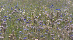 Lacy phacelia, Phacelia tanacetifolia in bloom - full screen field lilac flowers Stock Footage