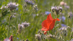 Phacelia tanacetifolia and Poppy, papaver in crop field + zoom out Stock Footage