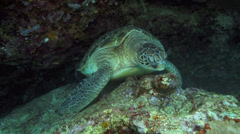 Giant green sea turtle resting in reef wall Stock Footage