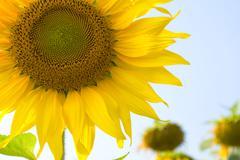 Sunflower blossoming Stock Photos