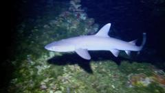 White-tip reef shark underwater at night Stock Footage