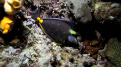 Surgeonfish sleeping in coral reef at night Stock Footage