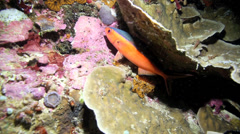 Neon fusilier fish amongst coral reef at night Stock Footage