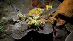 Spider decorator crab walking along coral reef wall at night Stock Footage