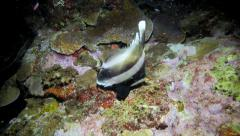 Pennant bannerfish on coral reef at night Stock Footage