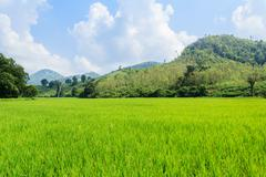 Rice field . Stock Photos