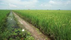 Paddy field under blue sky Stock Footage