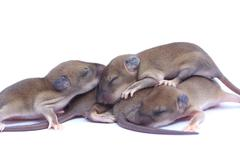 Small rodents (baby  rat). Stock Photos