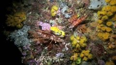 Lionfish on coral reef at night Stock Footage