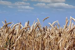 Golden wheat and blue sky summer season Stock Photos