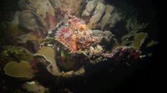Devil scorpionfish resting on coral reef at night Stock Footage
