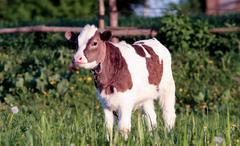 Calf - stock photo